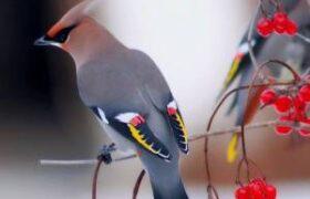 زیباترین پرندگان دنیا همراه با مشخصات
