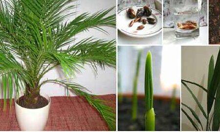 چطور امسال با هسته خرما، سبزه بکاریم؟
