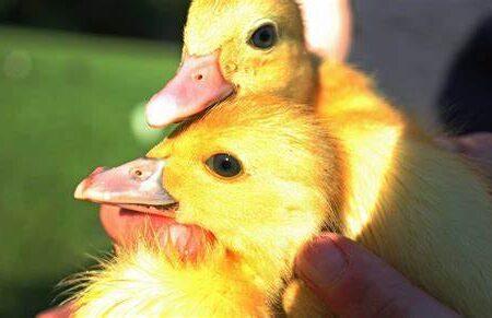 خاصیتی که مصرف گوشت اردک دارد